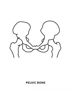 Pelvic Bone Human Body Cut Out Activity